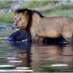 Lion feeding on an elephant @ Chobe National Park, Botswana